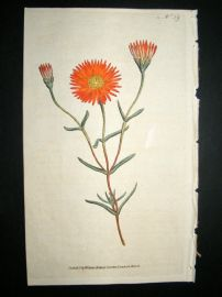 Curtis 1787 Hand Col Botanical Print. Two Coloured Fig-Marigold #59,